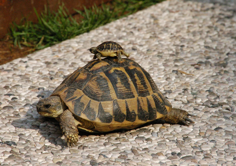 catturata a cusercoli una tartaruga carnivora lunga un