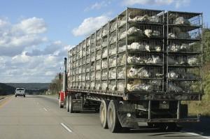 camion-di-polli